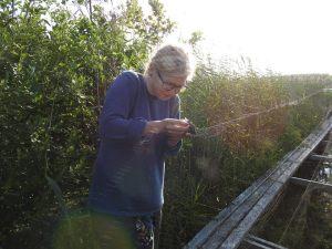 Hanna plockar sin första fågel ur nätet.