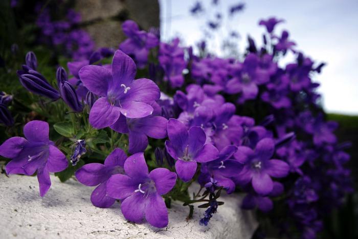 زهرة البنفسج-معلومات عن زهرة البنفسج-فوائد زهرة البنفسج الطبية 13657973561.jpg