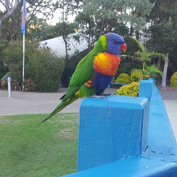 Esse espetáculo de cores é o Papagaio Arco-Íris (Rainbow Lorikeet). Quando ele voa, dá vontade de voar junto e se banhar nas cores quentes. Foto tirada em Sydney na conferência de pedagogia Waldorf.