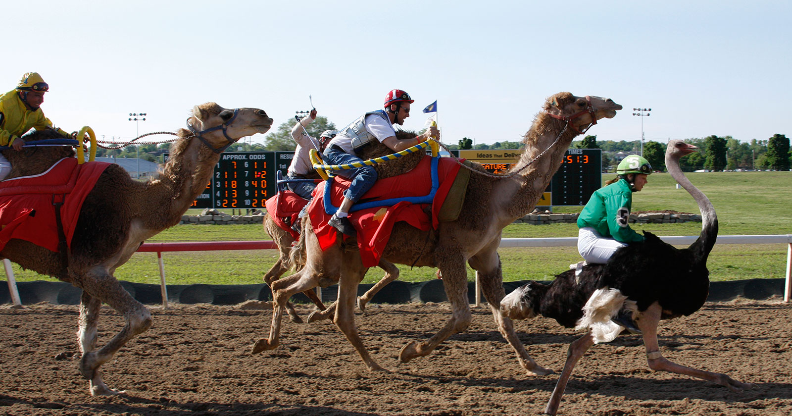 Poster of jockeys racing camels and ostrich