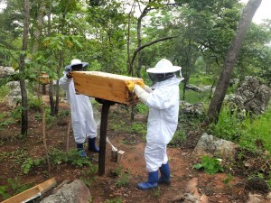 Top bar hive being checked