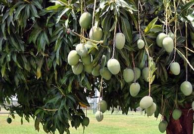 लाॅकडाउन का पर्यावरण संतुलन पर सकारात्मक प्रभाव, फलों से लदे आम के पेड़