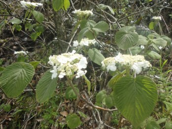 tree-white-flower-smokies