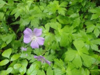 violet-flower-cosby-area-smokies