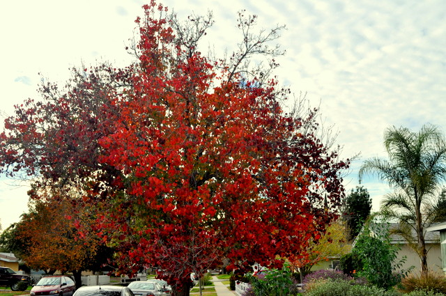 but autumn is aflame in North Hills.