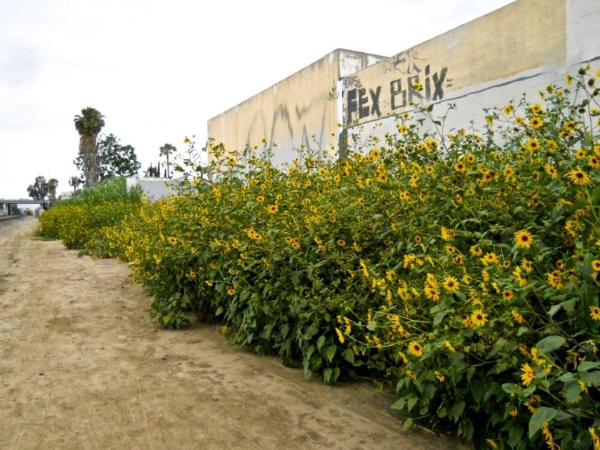 The wild mustard weeds