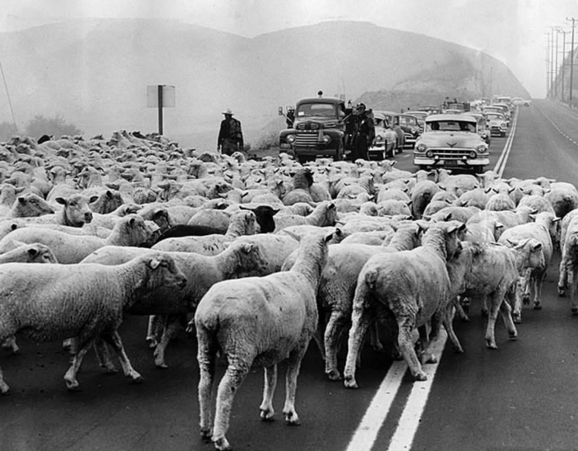 Sheep crossing, Ventura Blvd, 1955