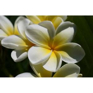 Plumeria Cutting Art Pearl (Special price)