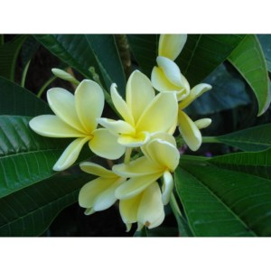 "Plumeria Cutting Semi-dwarf Yellow Singapore ""Keane"""
