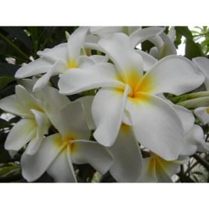 Plumeria Cutting Sherman White (special price)