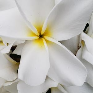 Plumeria Cutting Mother's Day