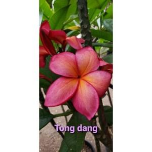 Plumeria Cutting Tong Daeng ( tong dang)