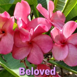Plumeria Cutting Beloved