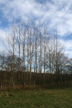 Stand of coppice poles in hedge