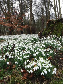 Snowdrop walk at Lytham Hall