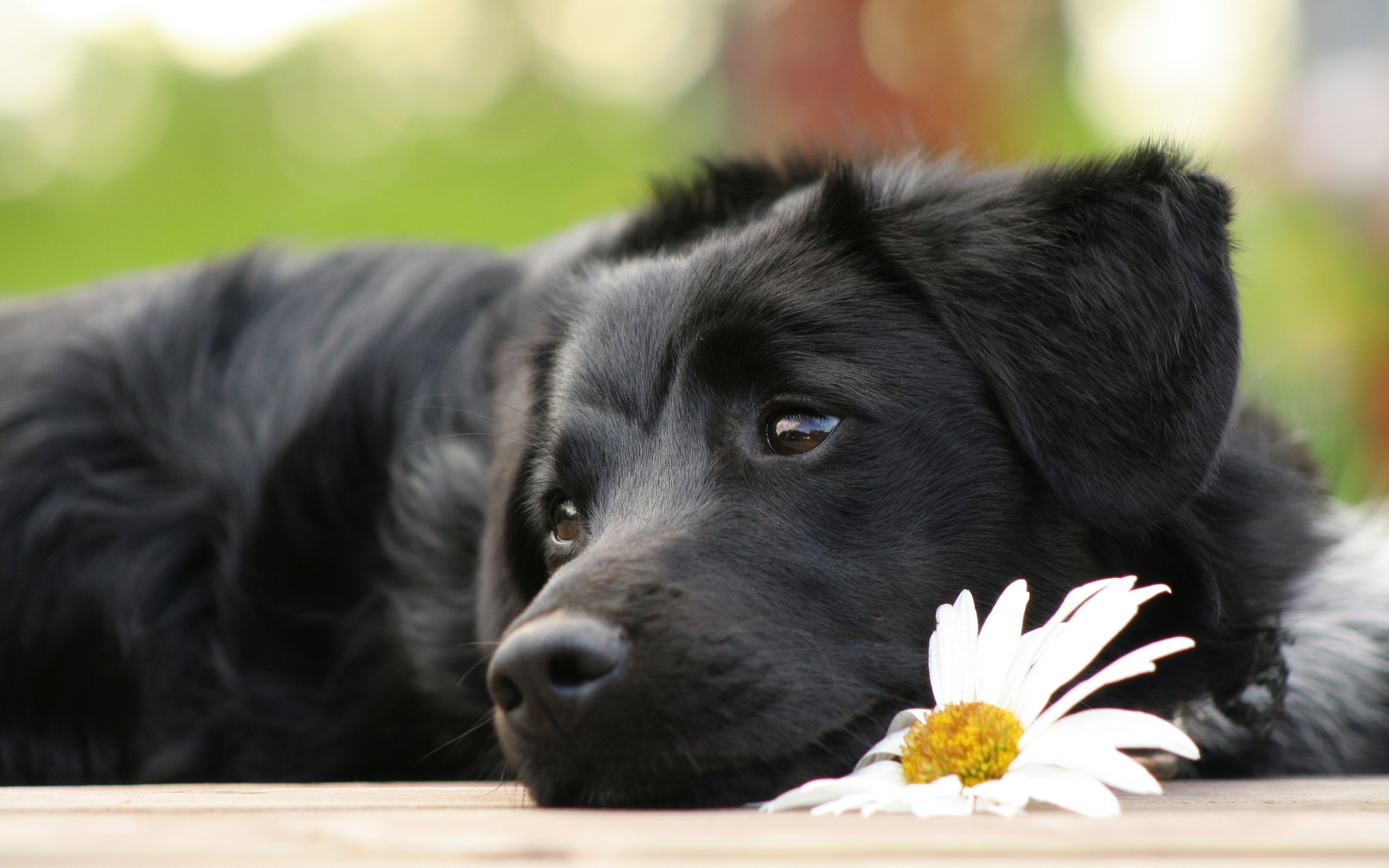 puppies black lab coloring pages together with sample worksheet for