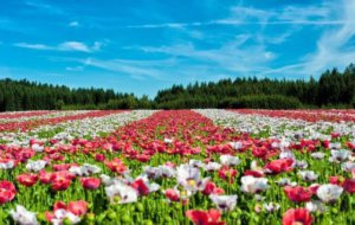 罂粟开花很美丽,结果却有毒(pixabay)