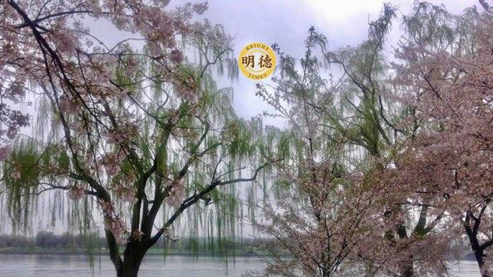櫻花與楊柳各擅勝埸(Philip Ma)