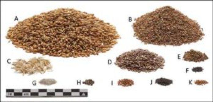托尔伦人最后一餐所含成分的重建,以相对于所研究的肠道内容的数量显示。它们包括大麦、淡柿子、大麦轴段、亚麻、黑捆草、肥母鸡、沙子、麻荨麻、金雀花、玉米刺和田堇。(P. S. Henriksen - 丹麦国家博物馆/Antiquity Publications Ltd )
