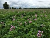Blackleg under spotlight at AHDB Potatoes event