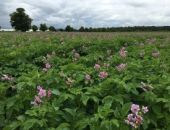 Indonesia extends Australian seed potato access