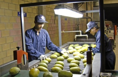 'Pakistan to export mangoes to Turkey next year'