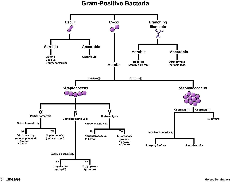 Gram Positive Bacteria