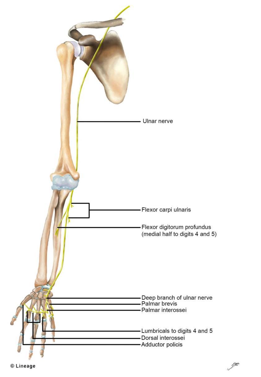Ulnar nerve - MSK - Medbullets Step 1