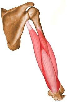 Triceps Brachii - Anatomy - Orthobullets