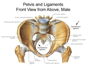 Pelvis Anatomy  Recon  Orthobullets
