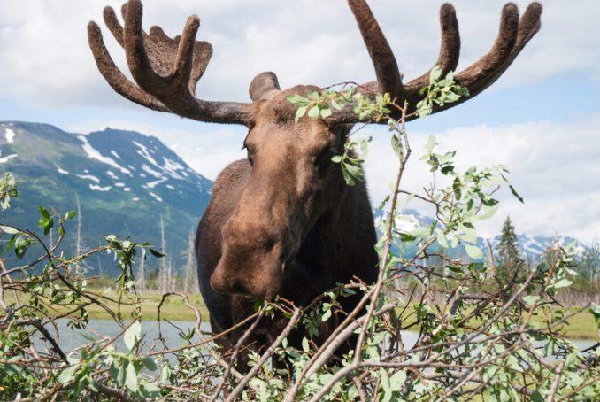 Moose at Alaska Wildlife Conservation Center