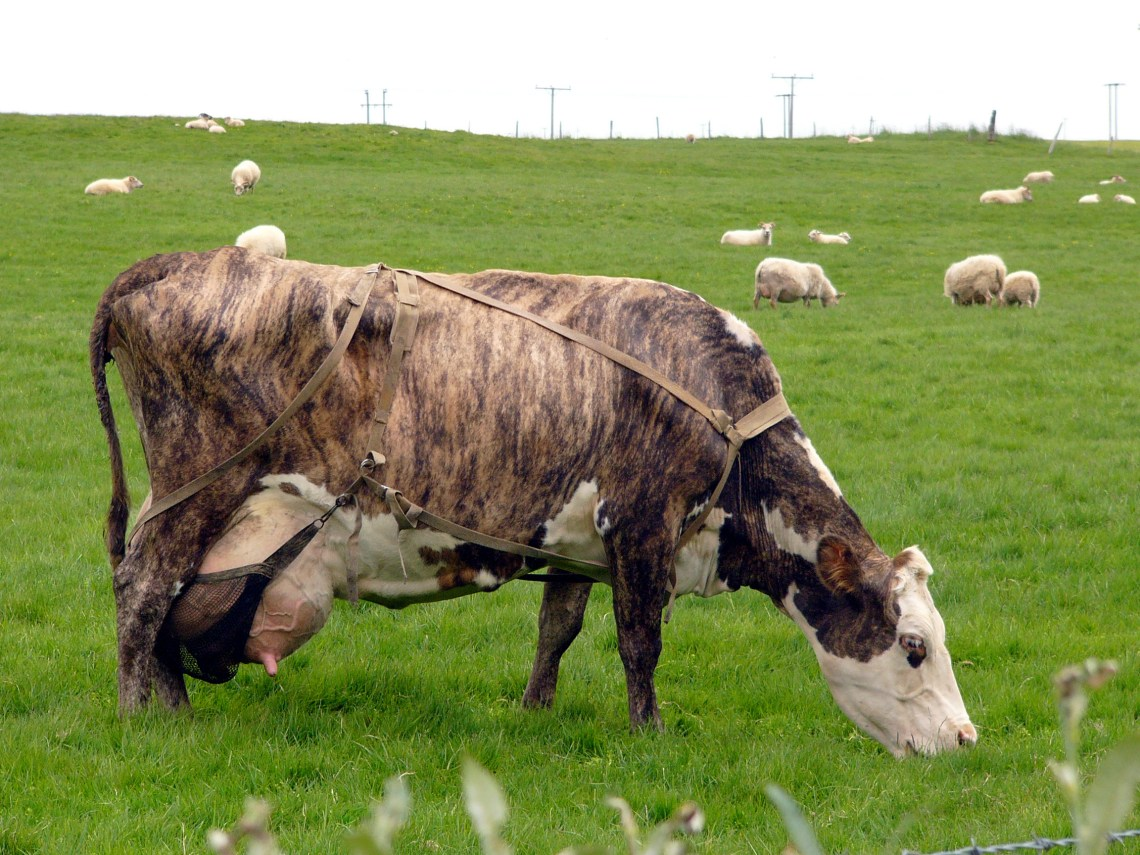 Cow in Iceland Kinds Of Pitbull Dogs