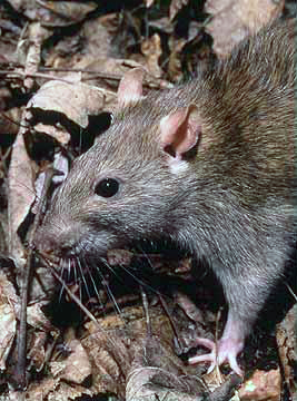 English: Rattus norvegicus, the Brown Rat. Deu...