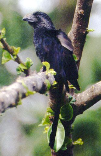 Ani Bird Wikipedia