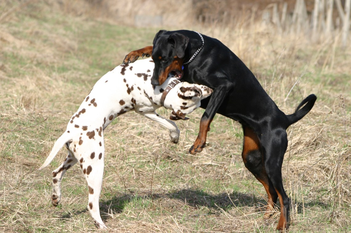 Dalmatian and Dobermann fight Pitbulls Dog