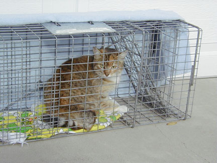 File:Feral cat, sterilized through a Trap-Neuter-Return program.jpg