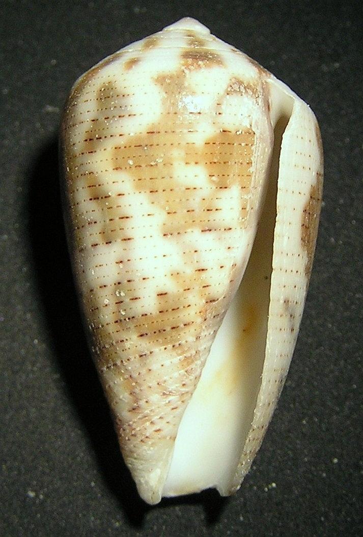 Conus Striolatus Wikipedia