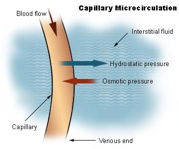 Illu capillary microcirculation.jpg