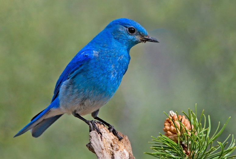 File:Mountain Bluebird.jpg