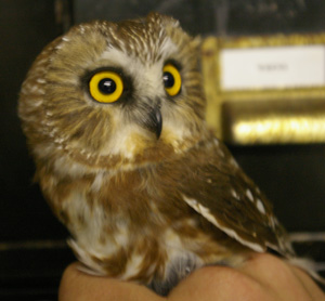 Northern Saw Whet Owl (from Wikipedia)