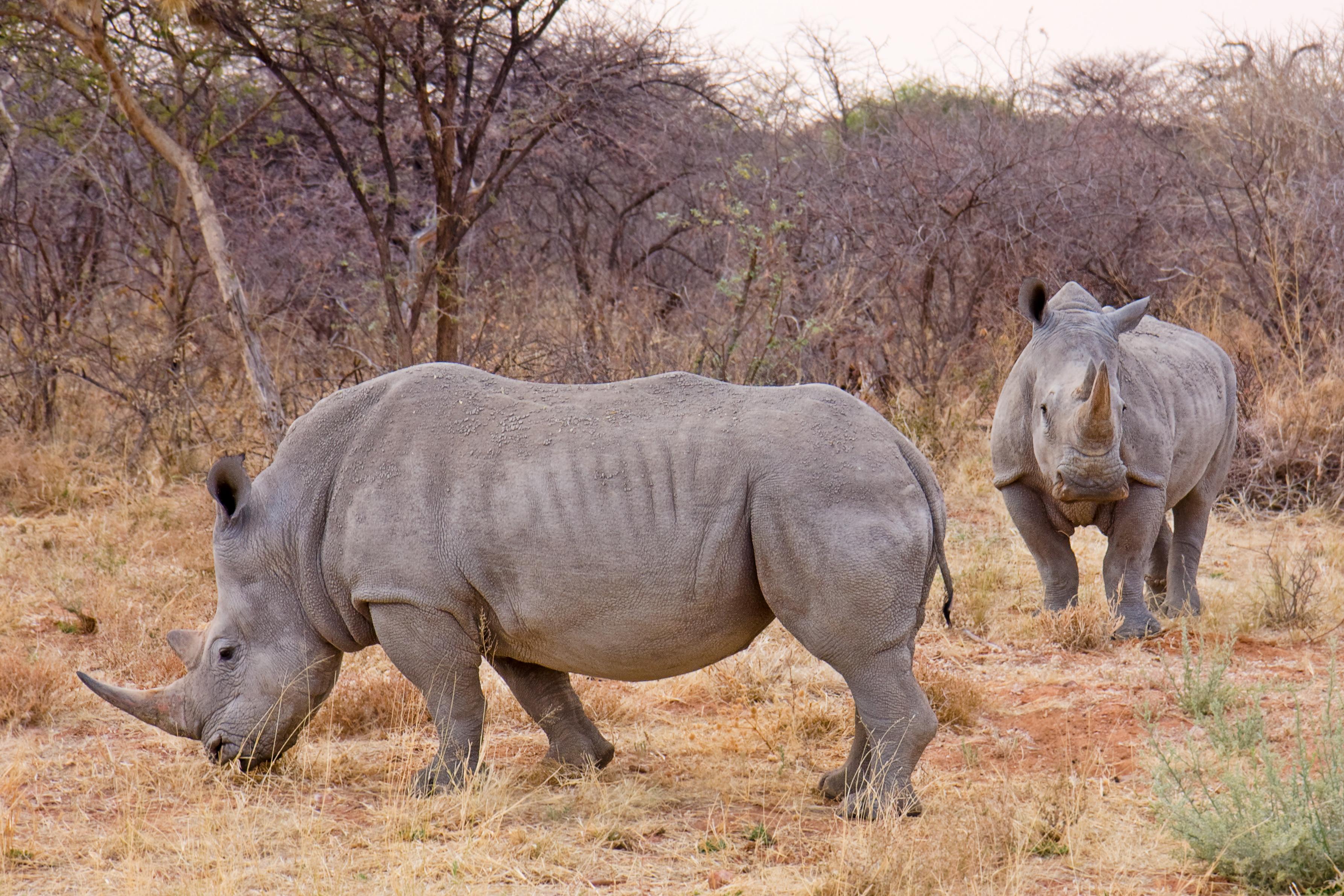 Two white rhinos in Namibia