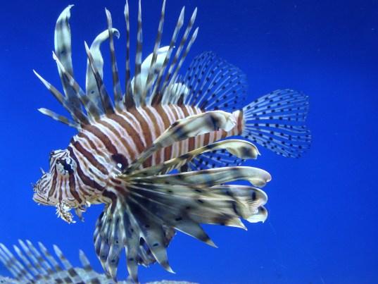 A P. volitans lionfish on a blue background.