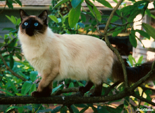 Old-Style Balinese Cat
