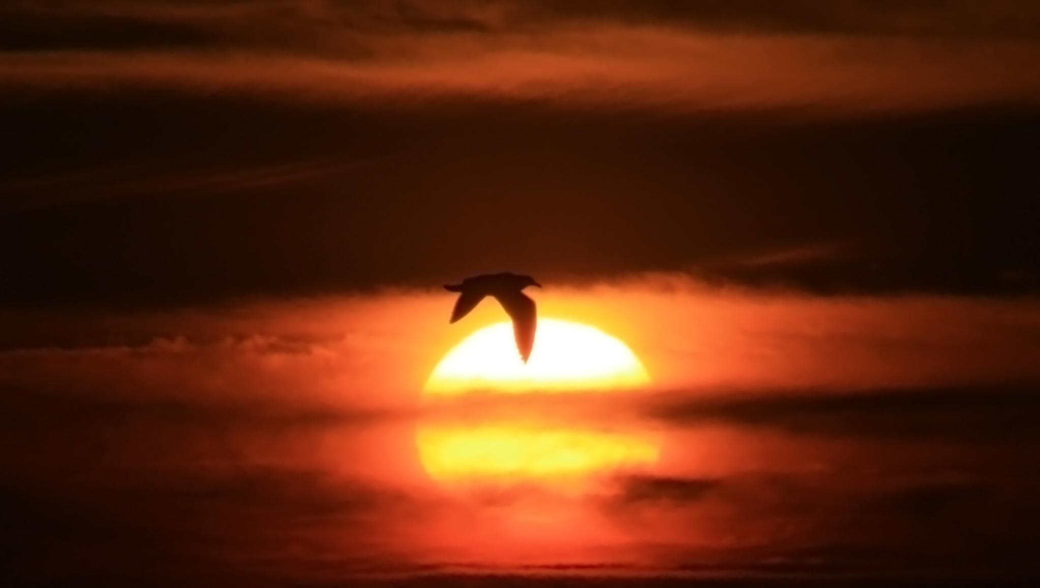 English: Silhouette of a bird over the Sun