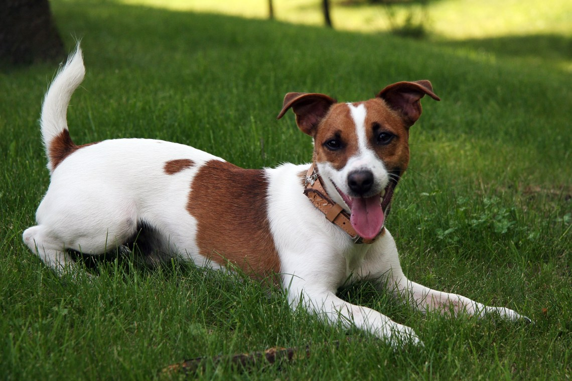 Jack Russell Terrier 2 Pitbull Show Dogs