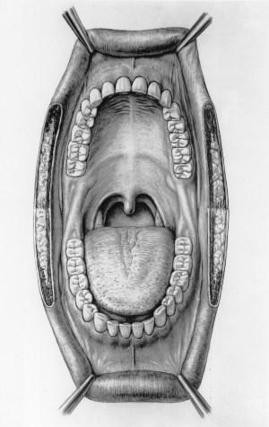 Frenulum of lower lip  Wikipedia