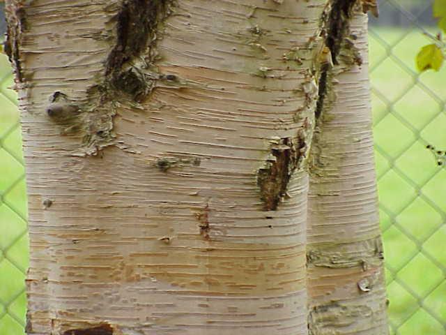 File:Betula papyrifera1.jpg