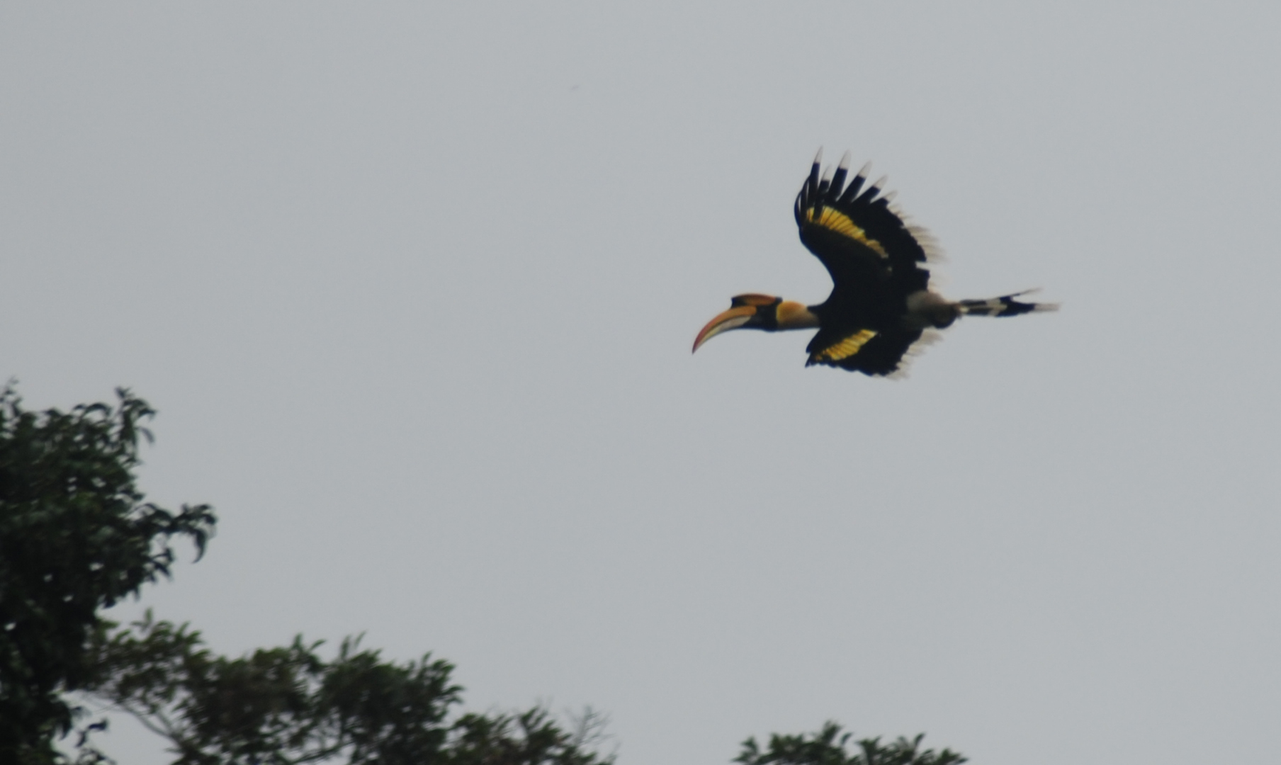 A great hornbill (Buceros bicornis) flying in ...
