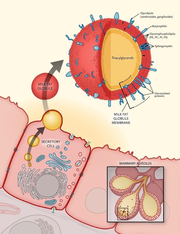 Complex Polarity Building Multicellular Tissues Through Apical
