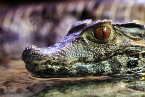 Cuvier's Dwarf Caiman Crocodile